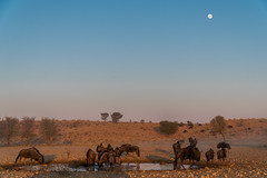 Wildebeest during sunrise, Kgalagadi Transfrontier National Park, South Africa (nadine3112) Tags: gnu kgalagaditransfrontierpark mond sonnenaufgang tiere