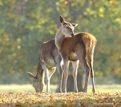 Autumnal Deer (alison brown 35) Tags: red deer fawn young tattonpark cheshire uk alisonbrown35 photogaphy autumn fall mammal mammals ngc npc