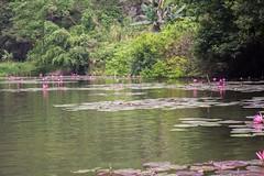 Las flores de loto (rraass70) Tags: canon d700 paisajes rio agua ninbinh deltadelriorojo vietnam