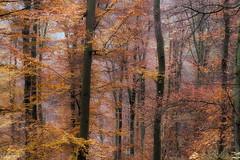 13112016-DSC_0031 (vidjanma) Tags: automne brume hêtres