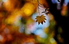 sapporo 742 (kaifudo) Tags: 北海道 札幌 北海道知事公館 紅葉 秋 sapporo hokkaido japan autumn nature autumnleaves nikon d5 nikkor afs 105mmf14eed 105mm