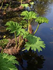 Gunnera manicata (MJ Harbey) Tags: gunneramanicata braziliangiantrhubarb giantrhubarb dinosaurfood gunnerales gunneraceae eudicot tattonpark knutsford cheshire nationaltrust nikon d3300 nikond3300