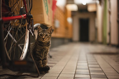猫 (fumi*23) Tags: ilce7rm3 sel55f18z 55mm sonnartfe55mmf18za a7r3 animal alley cat chat kitten kitty neko bokeh ねこ 猫 ソニー