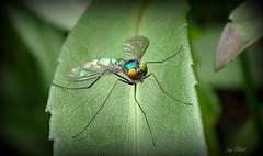 Beautiful Metallic Fly (Lani Elliott) Tags: garden nature naturephotography lanielliott fly metallicfly colour colourful insect bright light macro upclose closeup bokeh tasmanianfauna eyes wings flyinginsect macrounlimited