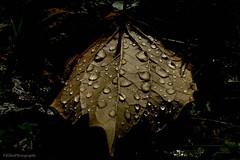 jewel of nature (Fay2603) Tags: diamonds diamanten natur blatt tropfen drops autumn herbst fantasticnature november