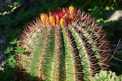 Atlantis Cactus Park (hans pohl) Tags: portugal zambujal sesimbra plantes plants cactus fleurs flowers nature