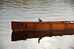 Basingstoke Canal Ash - Ash Vale 3 November 2019 016 (paul_appleyard) Tags: basingstoke canal ash vale canoe november 2019 parrot