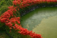 御所・彼岸花14・Gose (anglo10) Tags: 御所市 奈良県 japan 彼岸花 flower 日の出 sunrise