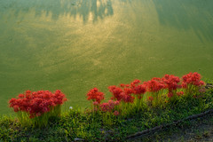 御所・彼岸花12・Gose (anglo10) Tags: 御所市 奈良県 japan 彼岸花 flower 日の出 sunrise