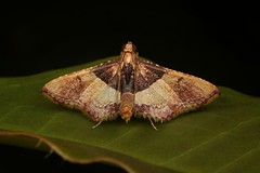 Pyralid Moth (Endotricha sp., Pyralidae) (John Horstman (itchydogimages, SINOBUG)) Tags: insect macro china yunnan itchydogimages sinobug entomology canon moth lepidoptera pyralidae black tumblr