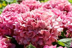 Vacances_1000 (Joanbrebo) Tags: mainau konstanz badenwürttemberg de deutschland canoneos80d eosd autofocus flors flores flowers fiori fleur blumen blossom