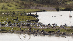 20191103ymd peter fidler & carr vale nat res_0015 Carr Vale Nature Reserve (paul_slp5252) Tags: walking derbyshire hiking carrvaleflashnaturereserve carrvale naturereserve wildfowl lapwings heron cormorant