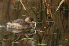 little grebe with 3 spined stickleback (simonrowlands) Tags: littlegrebe stickleback ponds rivers streams reservoirs canon7dmk2800mmlens