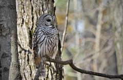 Barred Beauty (hd.niel) Tags: barredowl owls raptors forest birds nature photos wildlife photography ontario nikon720080400