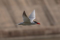 _D500962 (crispiks) Tags: birds flight hume dam spillway weir wall albury new south wales nikon d500 70200 f28 tern