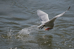 _D500938 (crispiks) Tags: birds flight hume dam spillway weir wall albury new south wales nikon d500 70200 f28 tern