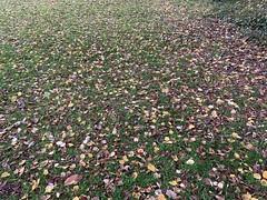 Autumn Leaves (firehouse.ie) Tags: november autumn winter fall autumnal thefall 2019 ireland colors colorful nature fauna leaf flora leafs
