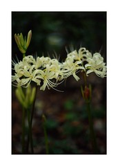 This work is 10/15 works taken on 2019/9/27 (shin ikegami) Tags: sony ilce7m2 a7ii sonycamera 50mm lomography lomoartlens newjupiter3 tokyo 単焦点 iso800 ndfilter light shadow 自然 nature naturephotography 玉ボケ bokeh depthoffield art artphotography japan earth asia portrait portraitphotography