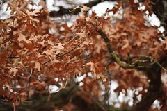 Oak leaves at Crane Meadows National Wildlife Refuge (U.S. Fish and Wildlife Service - Midwest Region) Tags: cranemeadows nwr refuge nationalwildliferefuge minnesota mn fall november 2019 landscape oak tree