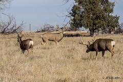 IMG_3877 mule deer (starc283) Tags: mountains mule deer buck rut starc283 nature natures finest watcher flickr flicker prairie naturewatcher naturesfinest