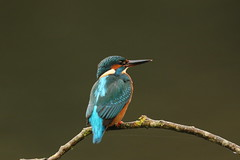 kingfisher (simonrowlands) Tags: kingfisher ponds lakesandrivers reservoirs streams alcedoatthis canon7dmk2canon800mm