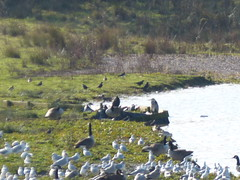 20191103ymd peter fidler & carr vale nat res_0021 Carr Vale Nature Reserve (paul_slp5252) Tags: walking derbyshire hiking carrvaleflashnaturereserve carrvale naturereserve wildfowl lapwings heron cormorant