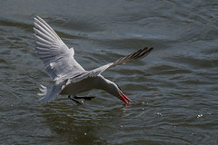 _D500937 (crispiks) Tags: birds flight hume dam spillway weir wall albury new south wales nikon d500 70200 f28 tern