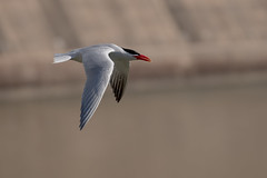 _D500963 (crispiks) Tags: birds flight hume dam spillway weir wall albury new south wales nikon d500 70200 f28 tern