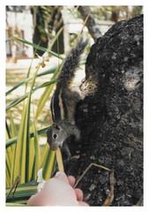 Negombo CL - Palmhörnchen - Funambulus like fries 02 (Daniel Mennerich) Tags: slr tier tiere animal animals animalia dierenrijk животные rollfilm fotografischerfilm analogphoto analogkamera плёночныйфотоаппарат photographicfilm srilanka ශ්රීලංකා இலங்கை