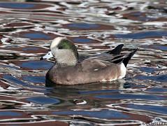 11031974563asmweb (ecwillet) Tags: americanwigeon boilingsprings nikon nikond500 nikon200500f56 duck ecwillet ericwillet wigeon