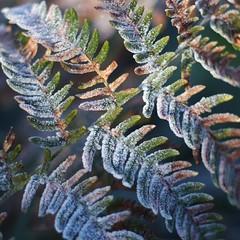Frozen fern (Stefano Rugolo) Tags: stefanorugolo pentax k5 pentaxk5 smcpentaxm50mmf17 kmount frozen fern manualfocuslens manualfocus manual pattern textures tones