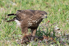 Common Buzzard feeding Oct 2019 (jgsnow) Tags: bird raptor buzzard commonbuzzard feeding