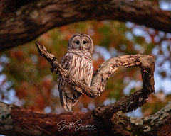 🍂 Framed by Nature 🍁. (DTT67) Tags: barredowl owl 500mmii 5dmkiv canon raptor autumn fall bird nature wildlife
