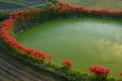 御所・彼岸花11・Gose (anglo10) Tags: 御所市 奈良県 japan 彼岸花 flower 日の出 sunrise