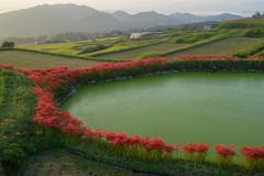 御所・彼岸花10・Gose (anglo10) Tags: 御所市 奈良県 japan 彼岸花 flower 日の出 sunrise