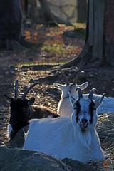 Diary entry No 1: Harping On (Minding the Moment) Tags: goat jämtget vallbyvästerås sweden autumn fall