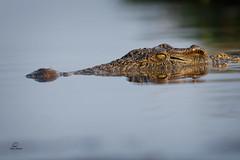 """Curious Croc (Glatz Nature Photography) Tags: africa nature wildlife wildanimal botswana choberiver nikond850 glatznaturephotography surface river eyes crocodile """"nilecrocodile"""""""