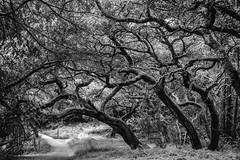 Ten Times Ten (Thomas Hawk) Tags: america california eastbay joaquinmillerpark oakland oaklandhills usa unitedstates unitedstatesofamerica bw tree fav10 fav25 fav50 fav100