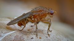 Scheufliege (Heleomyzidae) auf einem Pilz (AchimOWL) Tags: fliege makro deutschland tier insekt insect macro natur nature tiere wildlife outdoor wald fauna pilz fly scheufliege brachycera lumix panasonic gx80 olympus muscomorpha sphaeroceroidea ngc macrodreams bielefeld