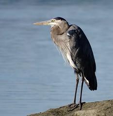 On garde l'oeil ouvert - Keeping an eye on things (J. Trempe 4,130 K hits - Merci-Thanks) Tags: stefoy quebec canada oiseau bird heron faune