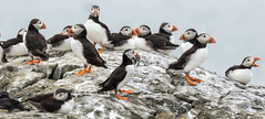 The Last Supper (Steve (Hooky) Waddingham) Tags: stevenwaddinghamphotography animal countryside coast canon bird british nature northumberland fish fishing farnes wild wildlife sea puffin photography planet