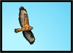 BUZZARD (PHOTOGRAPHY STARTS WITH P.H.) Tags: buzzard kingsbridge south devon nikon d500 200500mm afs vr