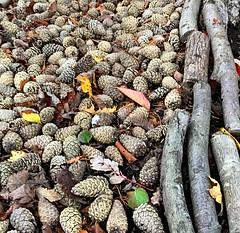 Winter fuel (BrooksieC) Tags: pinecones logs leaves autumn belfast ireland northernireland