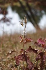 Common milkweed seeds at Crane Meadows National Wildlife Refuge (U.S. Fish and Wildlife Service - Midwest Region) Tags: cranemeadows nwr refuge nationalwildliferefuge minnesota mn fall november 2019 landscape oak tree milkweed seed commonmilkweed