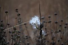 Common milkweed seeds at Crane Meadows National Wildlife Refuge (U.S. Fish and Wildlife Service - Midwest Region) Tags: cranemeadows nwr refuge nationalwildliferefuge minnesota mn fall november 2019 landscape milkweed seed commonmilkweed