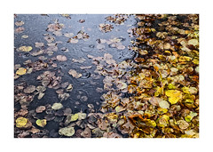 Leaves, rain and a puddle (PeteZab) Tags: autumn leaves rain puddle season weather peterzabulis