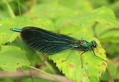 Beautiful Demoiselle (Calopteryx virgo) Male (Rezamink) Tags: calopteryxvirgo beautifuldemoiselle dragonflies odonata uk