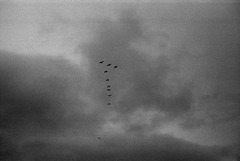 The Flock (azhukau) Tags: flying bird nature sky animal flockofbirds outdoors migrating wildlife air groupofanimals cloudsky midair animalwing day freedom goose animalsinthewild leicaiiif summaron35mmf35 kodak trix filmphotography moody monochrome blackandwhite bw analogue