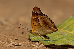 Rohana parvata - the Brown Prince (BugsAlive) Tags: butterfly mariposa papillon farfalla 蝴蝶 dagvlinder 自然 schmetterling бабочка conbướm ผีเสื้อ animal outdoor insects insect lepidoptera macro nature nymphalidae rohanaparvata brownprince apaturinae wildlife chiangdaons chiangmai ผีเสื้อในประเทศไทย liveinsects thailand thailandbutterflies nikon105mm bugsalive ผีเสื้อเจ้าชายสีตาล