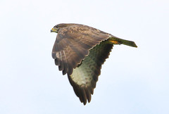 Common buzzard (badger2028) Tags: common buzzard buteo flight flying raptor